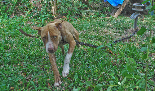 chained dog 02