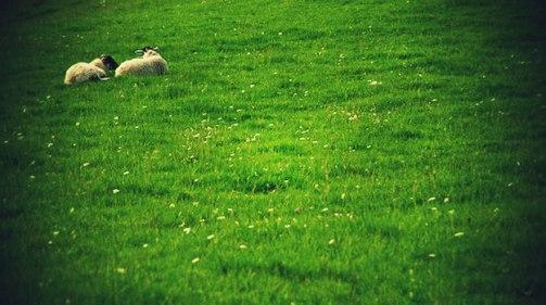 sheep-green-pasture