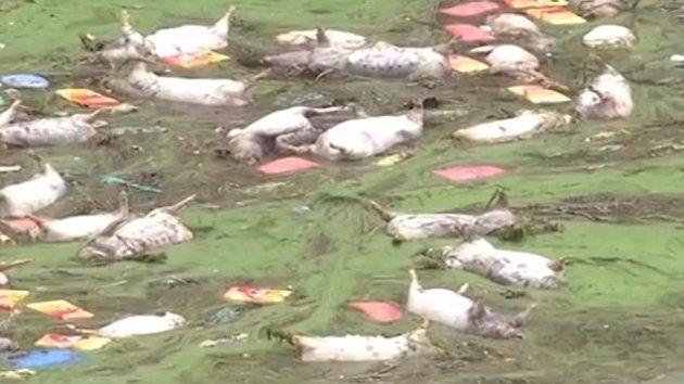 drowned pigs